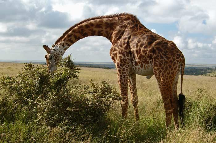 What Do Giraffes Eat Joy Of Animals