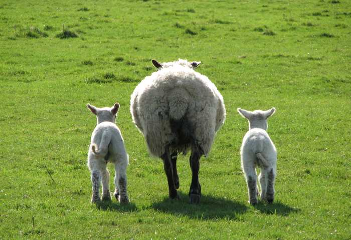 Baby Sheep with Mother