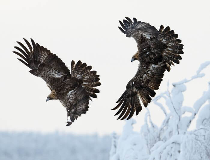 Pair of Golden Eagles