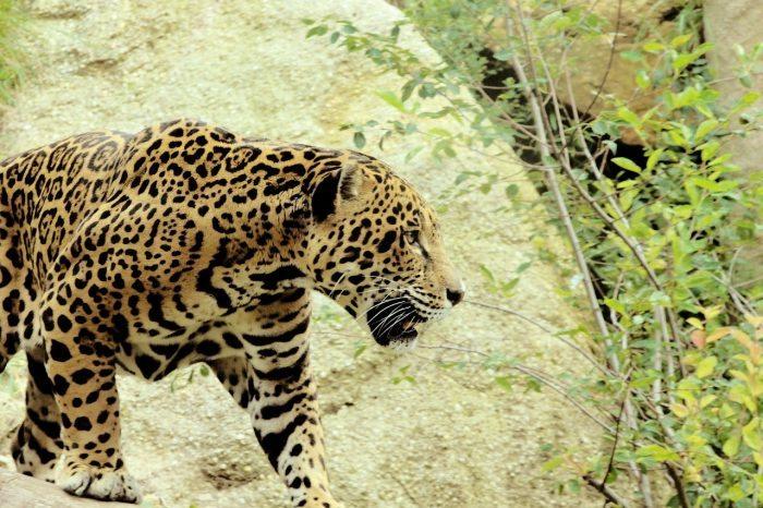 What Do Jaguars Eat >> What Predators Eat Jaguars? - Joy of Animals