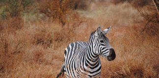Zebra in Kenya