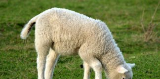 lamb eating
