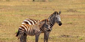 Zebra and Fawn