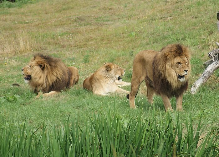 Lion Pride - Joy of Animals