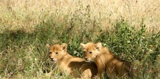lion cubs - joy of animals
