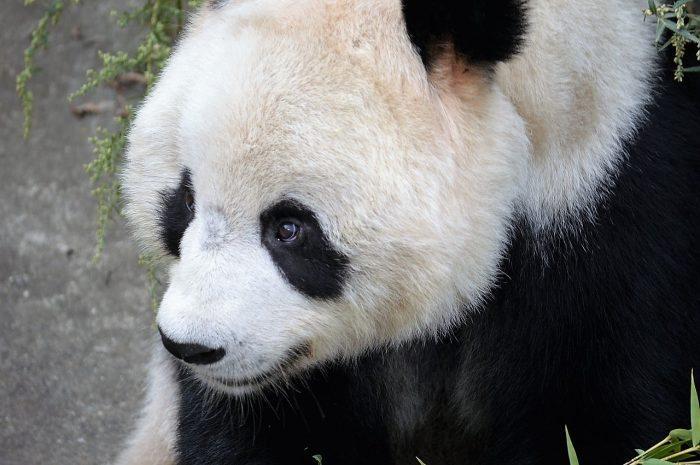 What Predators Eat Pandas? - Joy of Animals