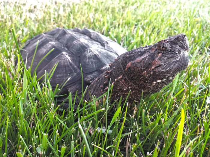 snapping turtle - joy of animals
