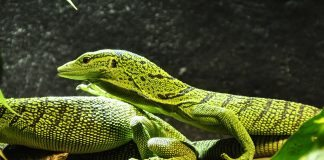 spotted baumwaran lizards