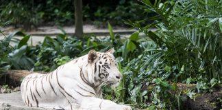 white tiger - joy of animals