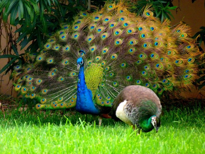 Female vs male peacock