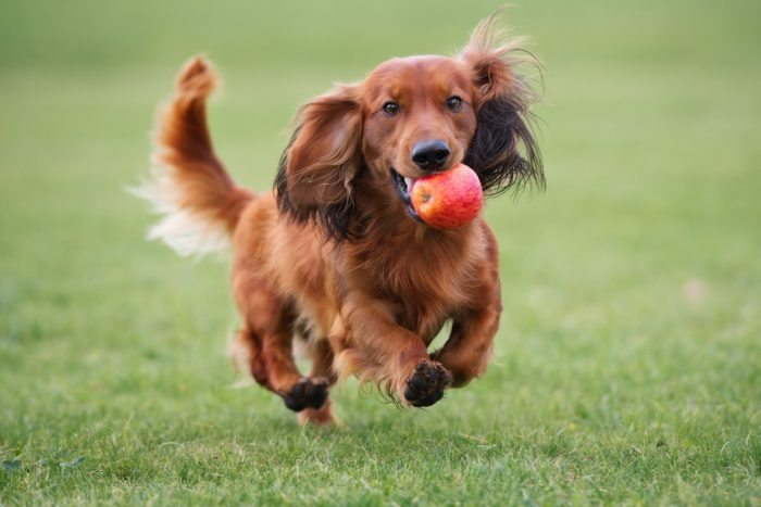 brown dachshund dog playing with an apple - joy of animals