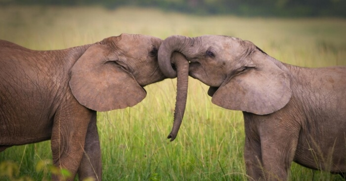 elephants-kissing