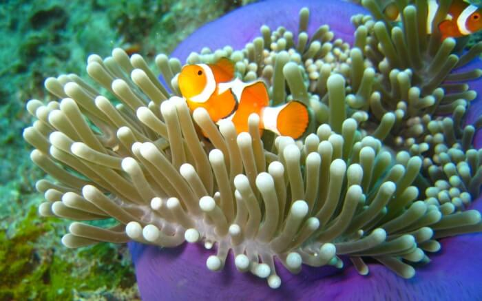 Where do clownfish live joy of animals for What do clown fish eat