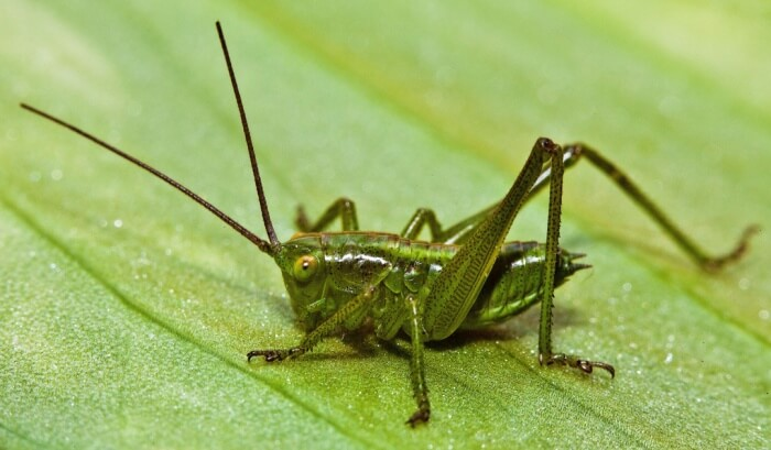 What Are Interesting Facts About Crickets? - Joy of Animals