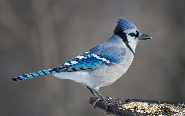 What Are Some Interesting Facts About Blue Jays Joy Of Animals