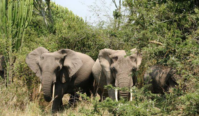 Elephants in Bush