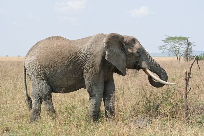 Elephant in Field Eating