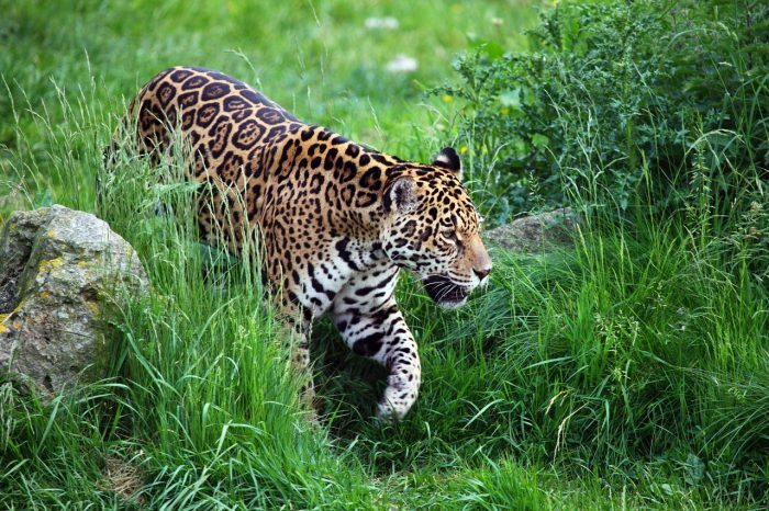 What Do Jaguars Eat >> What Do Jaguars Eat Joy Of Animals