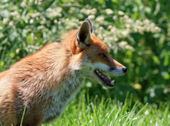 Do Foxes Eat Dog Food
