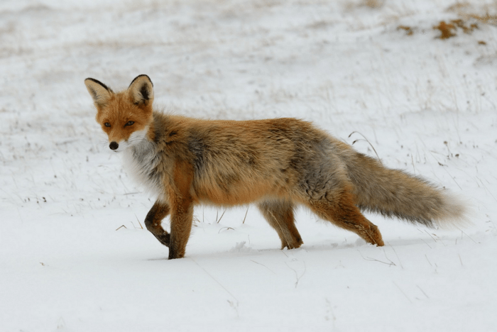 fox in snow