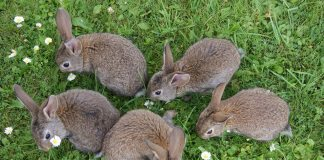 bunch of rabbits