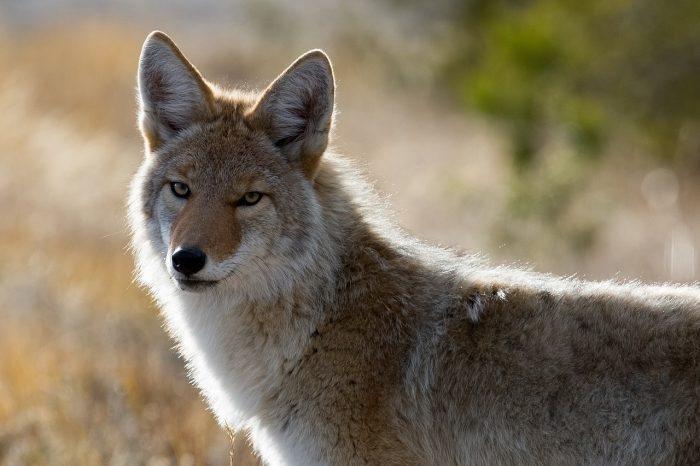 coyote - joy of animals