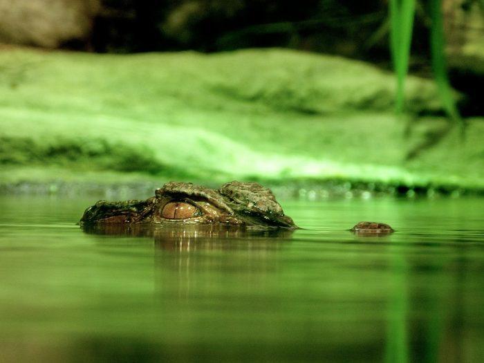 crocodile live