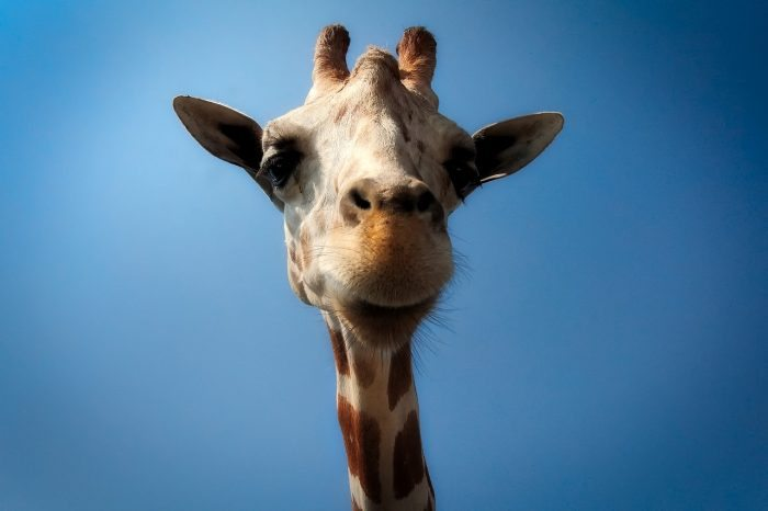 giraffe - joy of animals