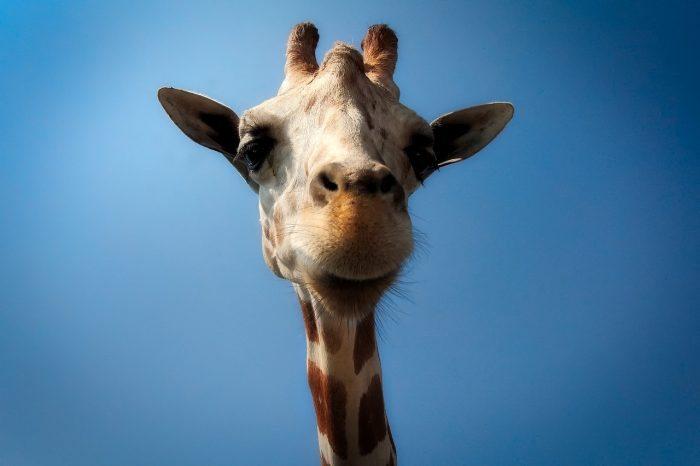 giraffe - joy of animals