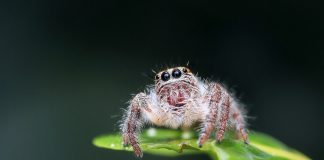 Jumping Spider - Joy of Animals