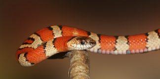 king snake on branch - joy of animals