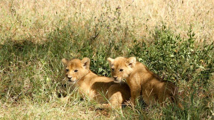 lion cubs - joy of animals