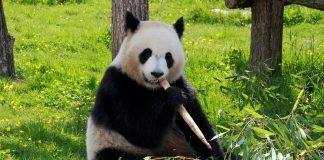 panda - joy of animals