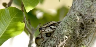 Python in Tree