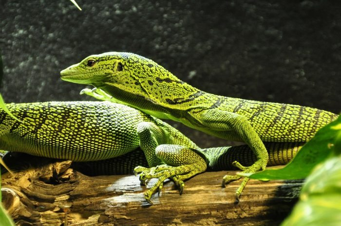 spotted baumwaran lizards