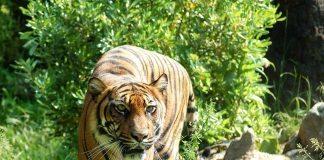 tiger - joy of animals