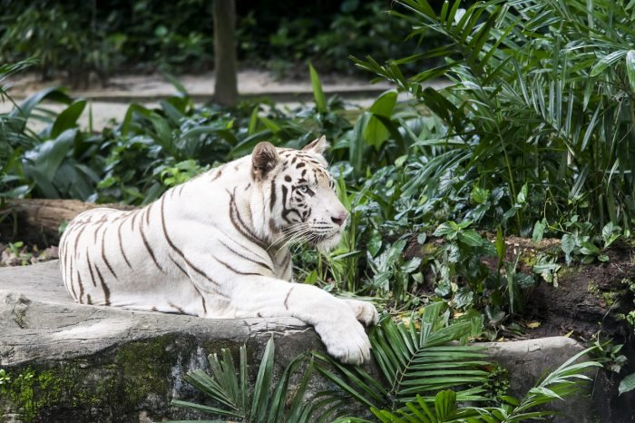 white tiger - joy of animals