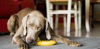 dog eating banana - joy of animals