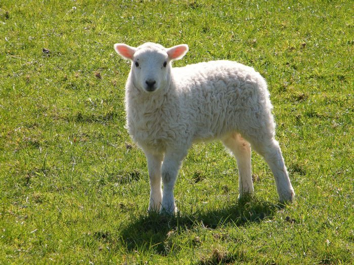 Spring Lamb - Joy of Animals